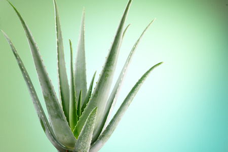 Aloe Vera closeup. Aloevera plant on green with blue background. Natural organic renewal cosmetics, alternative medicine. Skincare concept