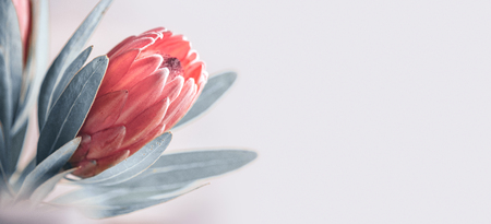 Protea bud closeup. Pink King Protea flower isolated on grey background. Beautiful fashion flower macro shot. Stockfoto