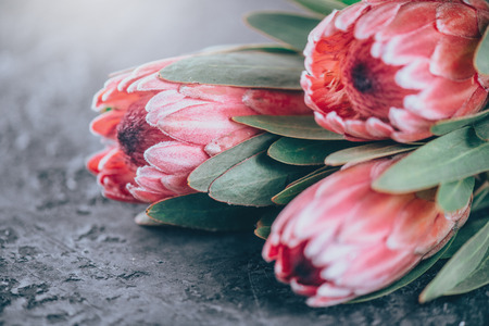 Protea buds closeup. Bunch of pink King Protea flowers over dark background. Valentines Day bouquet