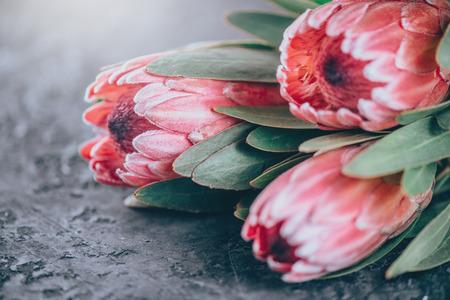 Protea Knospen Nahaufnahme. Bündel rosa King Protea Blumen auf dunklem Hintergrund. Blumenstrauß zum Valentinstag