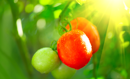 Ripe natural tomatoes ready for the harvesting. Growing organic tomato on a branch closeup. Gardening concept