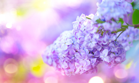 Lilac spring violet flowers bunch. Beautiful blooming violet Lilac flower in a garden closeup