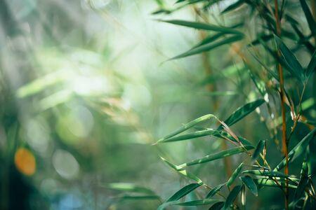 Foresta di bamboo. Progettazione di confine di bambù in crescita su sfondo sfocato soleggiato. Sfondo della natura