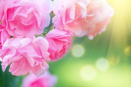 Des roses. Belle rose rose qui fleurit dans le jardin d'été. Fleurs de roses roses poussant à l'extérieur. Concept de jardinage