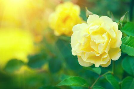 Roses. Beautiful yellow climbing rose blooming in summer garden. Stock Photo