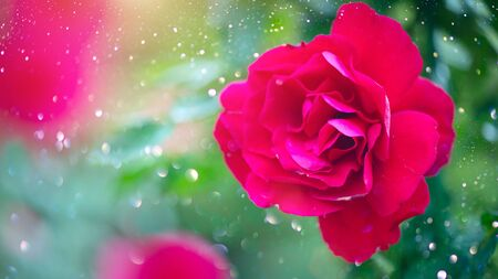 Red rose. Beautiful red rose flowers blooming in summer garden. Roses growing outdoors. Gardening concept