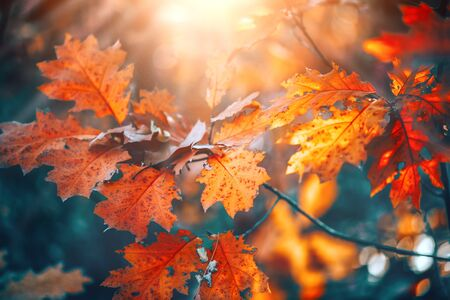 Otoño coloridas hojas brillantes balanceándose en un árbol de roble en el parque otoñal. Fondo de otoño. Escena de la hermosa naturaleza Foto de archivo