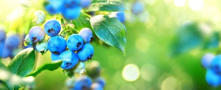 Blueberry plant. Fresh and ripe organic Blueberries growing in a garden. Healthy food. Agriculture. Wide screen Imagens