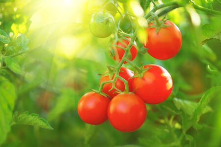 Tomato. Fresh and ripe organic Cherry tomatoes growing in a garden. Tomato hanging on a branch. Agriculture Stock Photo