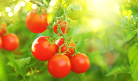 Tomato. Fresh and ripe organic Cherry tomatoes growing in a garden. Tomato hanging on a branch. Agriculture