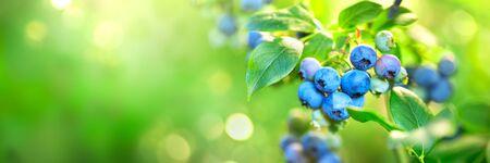 Plante de myrtille. Bleuets biologiques frais et mûrs poussant dans un jardin. La nourriture saine. Agriculture. Grand écran Banque d'images