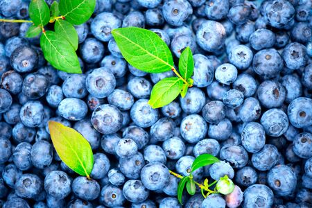 Blueberry background. Ripe and juicy fresh picked blueberries backdrop, closeup. Organic Blue berries