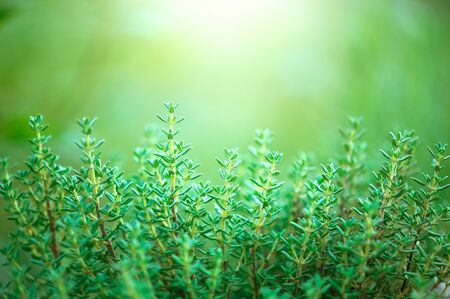 Thyme herb growing in a garden. Organic herbs. Thyme plant close-up. 写真素材