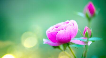 Beautiful Rose blooming in summer garden. Stock Photo