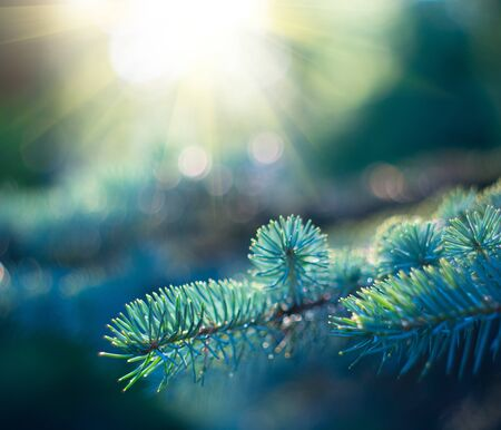 Blue Spruce growing in summer garden. Spruce outdoors, conifer needles close-up, nature. Stock Photo