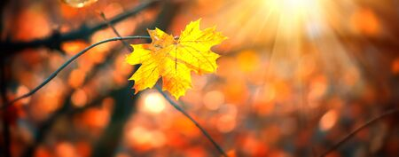 Autumn colorful bright Leaves swinging in a tree in autumnal Park. Stock Photo