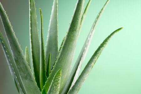 Aloe Vera closeup. Aloevera plant, natural organic renewal cosmetics, alternative medicine. Aloe Vera leaf close-up. Skin care concept, moisturizing. On green background