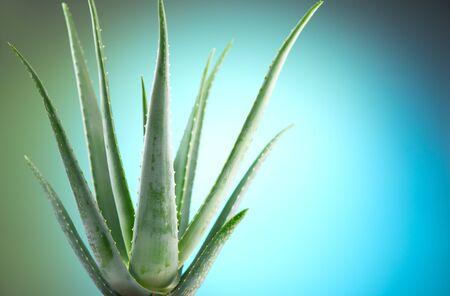 Aloe Vera closeup. Aloevera plant, natural organic renewal cosmetics, alternative medicine. Aloe Vera leaf close-up. Skin care concept, moisturizing. On blue background