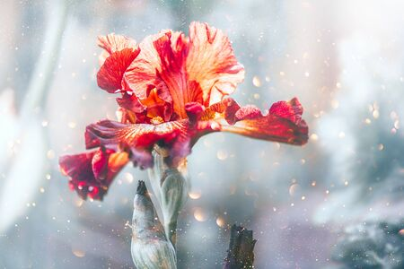Iris Flower blooming in a garden. Beautiful Brown with yellow colour Iris Flower growing close up. Floral background, Gardening concept Stock Photo