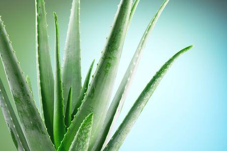 Aloe Vera closeup. Aloevera plant, natural organic renewal cosmetics, alternative medicine. Aloe Vera leaf close-up. Skin care concept, moisturizing. On green and blue background.