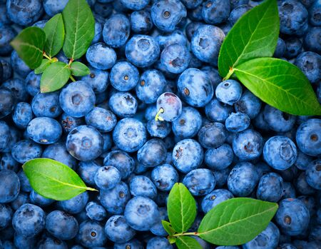 Blueberry background. Ripe and juicy fresh picked blueberries backdrop, closeup. Organic Blue berries with green leaves, macro shot. Vegan sweet food, market.