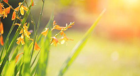 Crocosmia flowers blooming in a garden close-up. Crocosmia (montbretia) yellow and orange vivid small flowers. Beautiful bright flower. Sun flares. Gardening, garden design