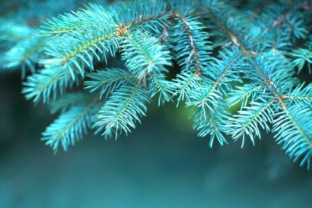 Blue Spruce growing in summer garden. Spruce outdoors, conifer needles close-up, nature. Sun flares. Garden design, gardening. Landscape design. Christmas tree border