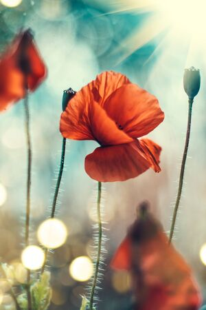 Poppy flowers field nature spring background. Blooming Poppies over blue sky on wind. Rural landscape with red wildflowers. Vertical image