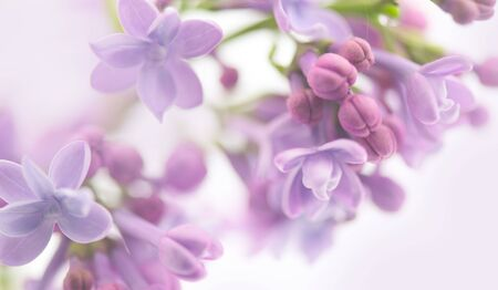 Lilac flowers, art design, soft focus, blurred background. Bunch of Beautiful violet Lilac flower Easter border design closeup. Lilacs backdrop. Copy space for your text.