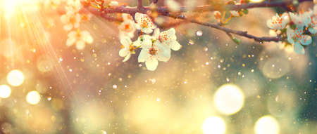 Spring blossom background. Beautiful nature scene with blooming tree and sun flare. Sunny day. Spring flowers. Beautiful Orchard. Abstract blurred background. Cherry or sakura blossoms. Springtime Standard-Bild