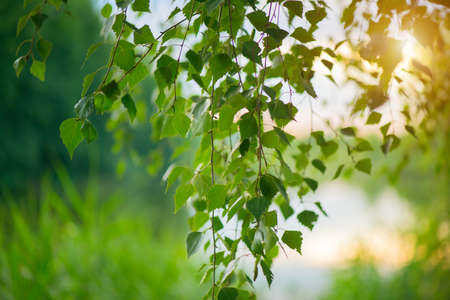 Nature scene. Spring landscape with sun. Beautiful nature tranquil scene. Birch tree leaves in sun light close-up. Outdoor. Environment concept.
