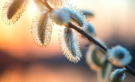Pussy willow with open fluffy yellow buds over sunset spring nature background. Blooming spring willow flowers backdrop, Close-up. Easter art design. Stock Photo