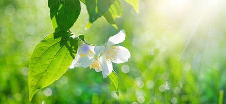 Jasmine flowers closeup. White Jasmin flowers blooming in spring garden. Aroma therapy, fragrant tea, perfume ingredient. Botany background.
