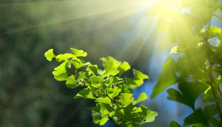 Gingko biloba tree growing in a garden. Gingko leaf in sun lite. Herbal medicine. Herbs. Alternative medicine concept. Nature background