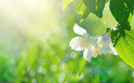 Jasmine flowers closeup. White Jasmin flowers blooming in spring garden. Aroma therapy, fragrant tea, perfume ingredient. Botany background Stock Photo