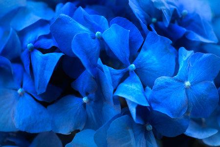 Hydrangea blue flower closeup. Beautiful soft colors Hortensia art design. Beauty deep blue colour Hydrangea flower close up. Watercolor nature floral backdrop. Easter, Birthday, Wedding design