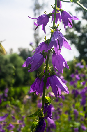 Bright lilac flowers of giant bellflower or Campanula latifolia under sunlight on blurred background.