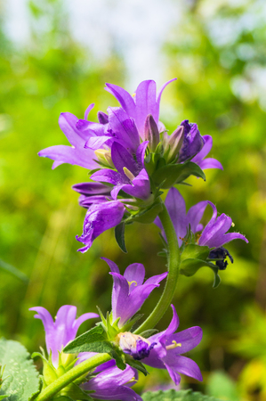 Bright lilac inflorescence of clustered bellflower or Campanula glomerata under sunlight on blurred background.