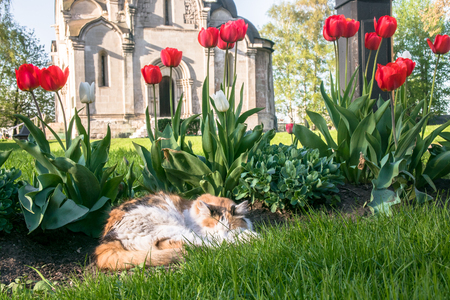 A lazy tricolor pussycat, relaxing in a flower bed between bright blooming tulips.