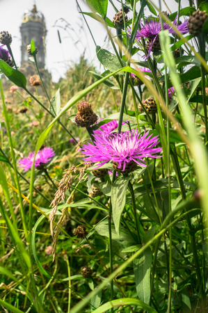 Purple shaggy flowers of Centaurea jacea or brown knapweed on a meadow. Cheerful rich colors of nature and bright sunlight inspire for the best and fill the soul with delight and joy.