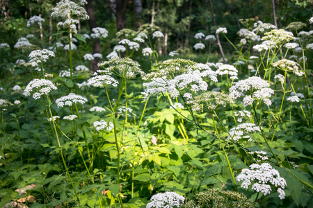 Flowering umbelliferous herbs, lit by soft evening sunlight. This is Anthriscus sylvestris, known as cow parsley, wild chervil, wild beaked parsley, or keck.