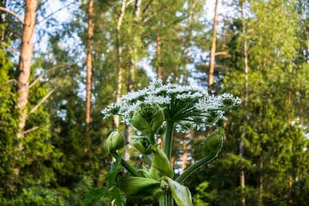 Blooming inflorescence of giant hogweed, poisonous weed, outstanding by its aggressive spreading, powerful growth and high survivability.