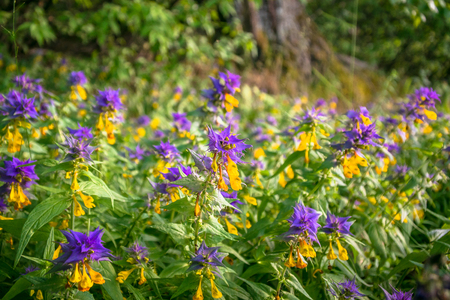 Summer forest flowers of cow-wheat (Melampyrum nemorosum). Picturesque peaceful nook away from the urban noise and hustle. Rich colors of nature inspire for the best and fill the soul with harmony.