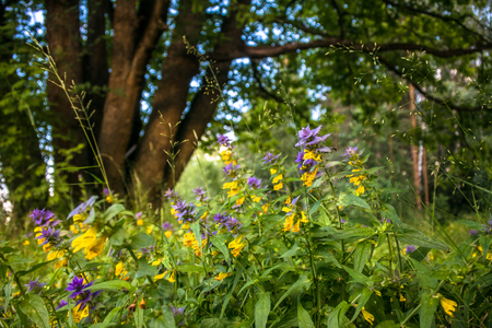 Cute flowers of cow-wheat (Melampyrum nemorosum) at the foot of a big tree. Picturesque peaceful nook away from the urban noise and hustle. Rich colors of nature inspire for the best and fill the soul with harmony. Stockfoto