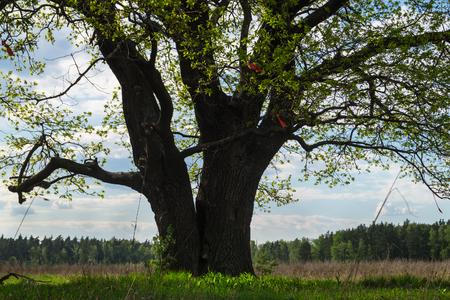 Huge trunk and the first young leaves of the ancient branchy oak tree with deep hollow. Spring landscape. Stockfoto