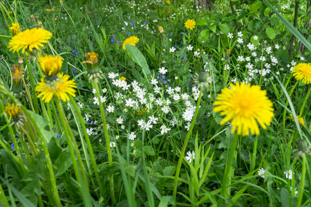 Bright flowers of dandelion on a Sunny forest glade.