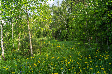 Young birch trees on flowering glade, lit by morning sunlight. Picturesque peaceful nook away from the urban noise and hustle. Rich colors of nature inspire for the best and fill the soul with harmony. Stockfoto