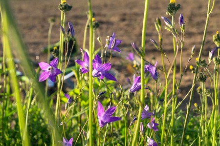 Uplifting piece of summer countryside. Modest flowers of a spreading bellflower (Campanula patula) under sunlight. Stockfoto