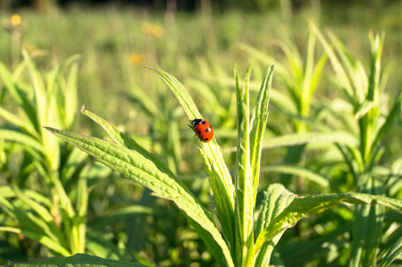 Uplifting piece of summer countryside. A Ladybug on a green stem under sunlight.