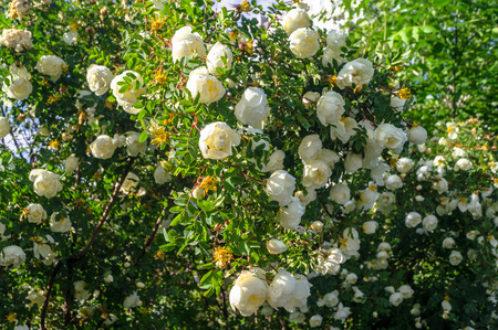 Fragment of a lush rosehip shrub, studded with white flowers under golden sunlight. Love, happiness, wedding. Stockfoto